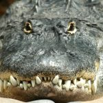 Full Frontal Gator